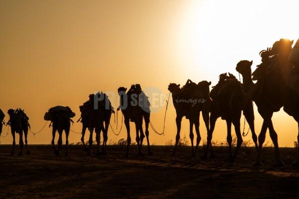 Camel caravan silhouette   ProSelect-images