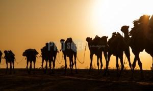 Camel caravan silhouette | ProSelect-images
