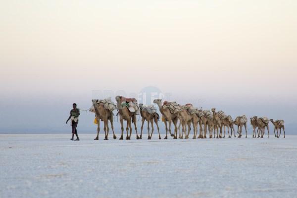 Camel Caravans North Africa | ProSelect-images