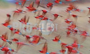 Carmine bee eaters in flight | ProSelect-images