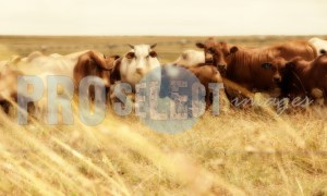 Cattle in field Free State | ProSelect-images