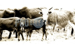 Cattle rural Mpumalanga | ProSelect-images