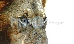 Close-up lion face | ProSelect-images
