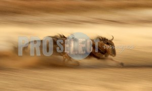 Connochaetes taurinus running | ProSelect-images