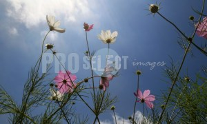 Cosmos Flowers Free State | ProSelect-images
