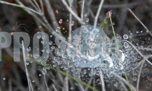 Dew covered web spider | ProSelect-images