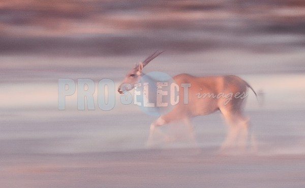 Eland cow on the move | ProSelect-images