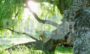 Fallen weeping willow | ProSelect-images