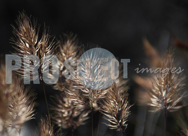 Feather reed grass | ProSelect-images