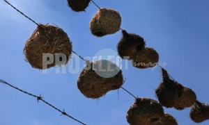 Finch nests on wire | ProSelect-images