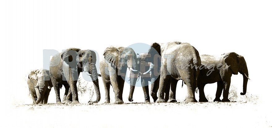 Four elephants | ProSelect-images