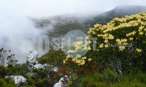 Fynbos protea variety | ProSelect-images