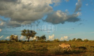 Gemsbok gazelle Namibia | ProSelect-images