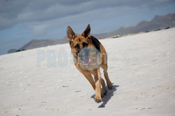 German Shepherd on beach | ProSelect-images