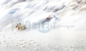 Ghost Crab | ProSelect-images