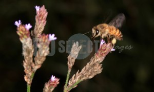 Honey bee | ProSelect-images