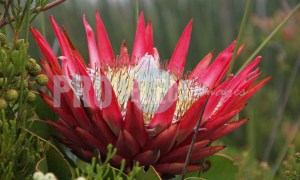King Protea national flower | ProSelect-images