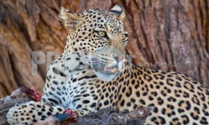 Leopard with catch | ProSelect-images
