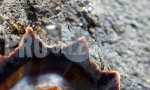 Limpet Shell | ProSelect-images