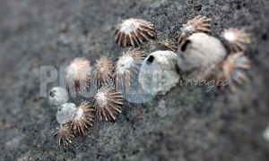 Limpets on rock Gonubie | ProSelect-images