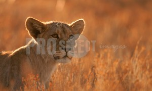 Lion cub in grass | ProSelect-images
