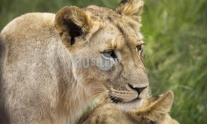 Lion love | ProSelect-images