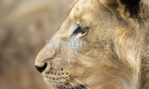 Lion staring | ProSelect-images