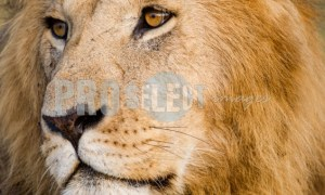 Male lion portrait | ProSelect-images