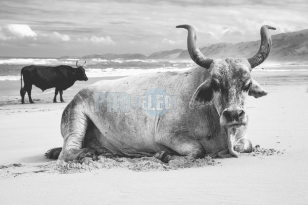 Nguni bull | ProSelect-images