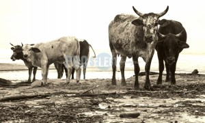 Nguni Cattle Transkei | ProSelect-images