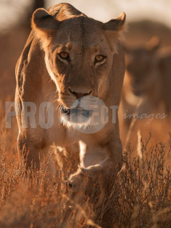 Panthera leo lioness | ProSelect-images
