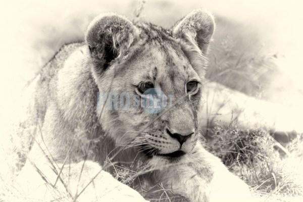Panthera leo   ProSelect-images