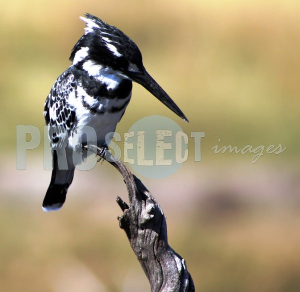 Pied Kingfisher sitting on branch | ProSelect-images