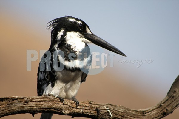 Pied kingfisher | ProSelect-images