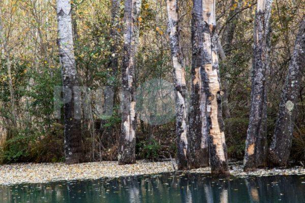 Poplars at dam Dullstroom | ProSelect-images