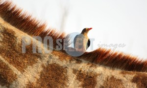 Red billed oxpecker | ProSelect-images