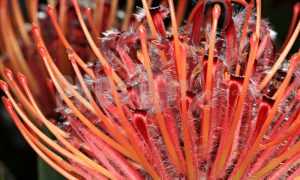 Red Proteaceae bobbejaanklou | ProSelect-images