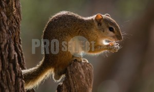 Squirrel eating an acorn   ProSelect-images