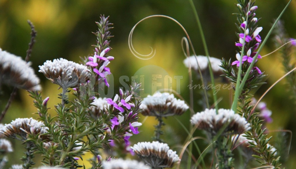 Wild flowers Western Cape | ProSelect-images