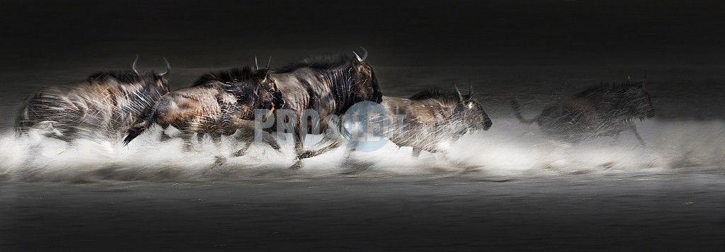 Wildebeest running through water | ProSelect-images