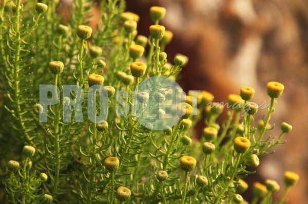 Yellow flower buds | ProSelect-images