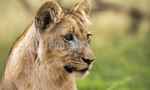 Young lion portrait | ProSelect-images