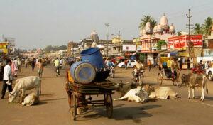 Пьют ли в индии коровье молоко. Корова — священное животное в Индии, традиции индусов