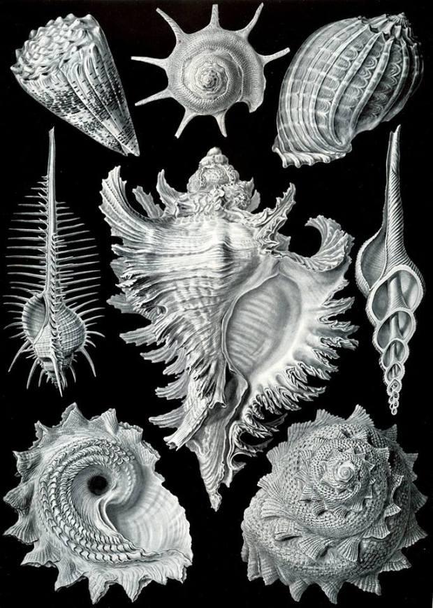 """La maggior parte delle stampe di Haeckel sono di dominio pubblico! Gioa gaudio e tripudio! Questo viene da Kunstformen der Natur, la piastra nello specifico è quello sui Prosobranchia, una sottoclasse di molluschi gasteropodi, ed è stata scelta esclusivamente perché contiene """"Proso"""" nel nome."""