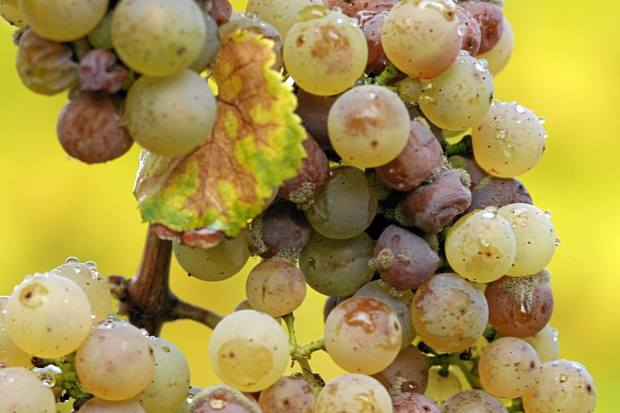 Photocredits: La muffa grigia che se magna un grappolo d'uva, foto di Tom Maack via Wikimedia Commons, su licenza CC BY-SA 3.0