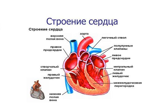 Причины трикуспидальной регургитации. Причины симптомы и лечение трикуспидальной регургитации