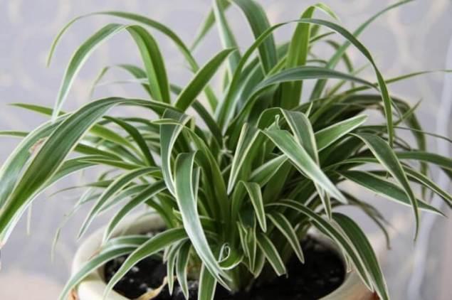 6 лучших растений для вашего дома - фикус - хлорофитум