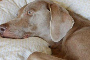 После смерти друга пес отказывался вставать. Пока не увидел коробку, в которой что-то возилось и пищало