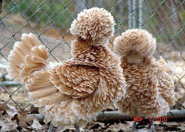 Пушистое чудо: животные с самой необыкновенной шерстью (20 фото)
