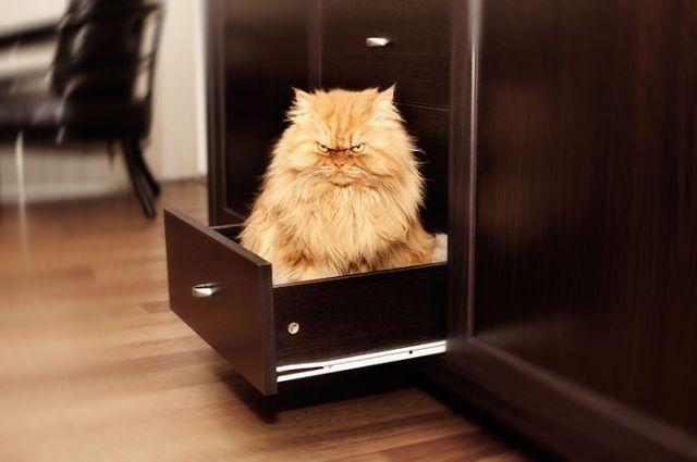 Знакомьтесь Гарфи, самый злой кот в мире (16 фото)